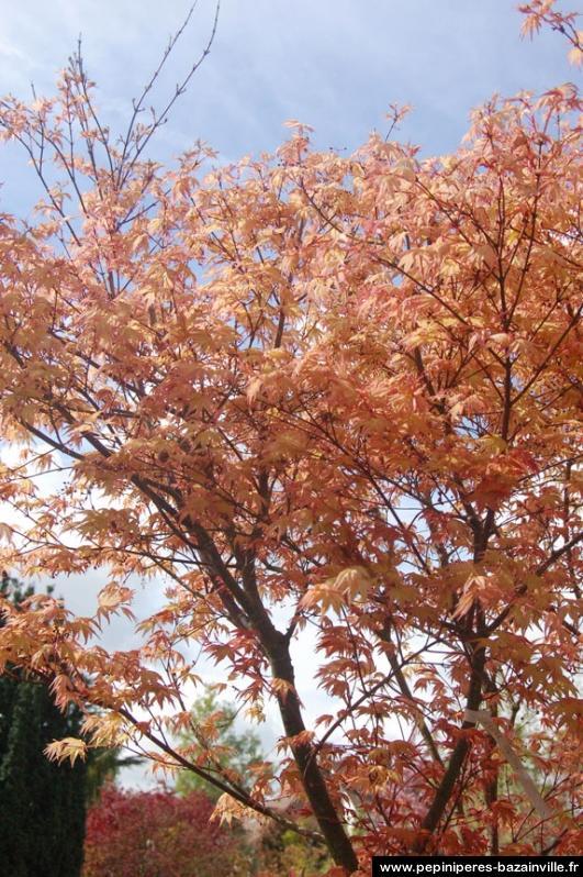 Acer palmatum orange dream erable du japon orang - Erable du japon orange dream ...