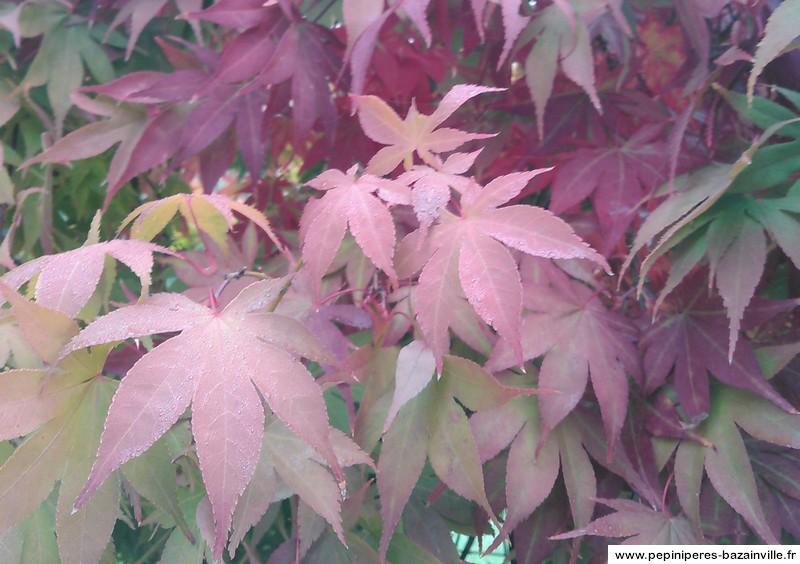 Erable 'Osakazuki' - Acer palmatum - Erables du Japon