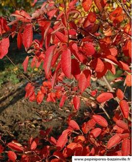 L'Amélanchier - fleurs, fruits et coloration automnale