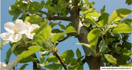Les poires William's – des poires juteuses et sucrées