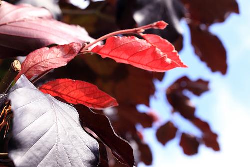 Hêtre pourpre au port pleureur - FAGUS sylvatica Purpurea Pendula