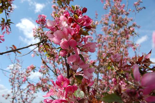 Pommier Malus x Royalty – fleurs et feuillage rouges