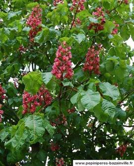 Le marronnier aux fleurs rouge sang
