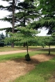 Cornouillers - Cornus - Grands Arbustes