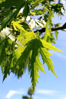 L'érable lacinié – un arbre qui a beaucoup d'allure