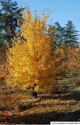 Acer Campestre, un arbre idéal pour les haies