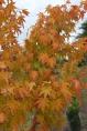 Acer Palmatum - Erable Japonais ou Erable Palmé