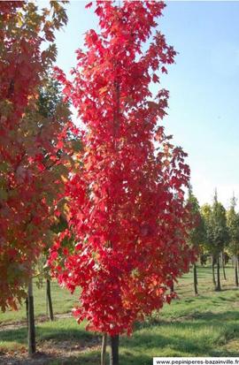 L'érable de Freeman - majestueux et sublimes couleurs automnales.