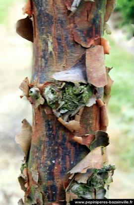 Erable à écorce de papier ou Acer Griseum