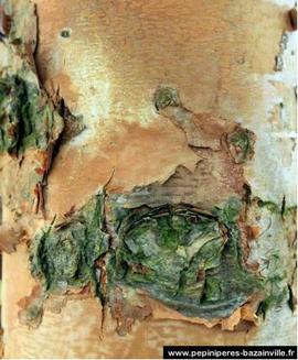 BETULA Nigra – Bouleau décoratif en hiver et automne
