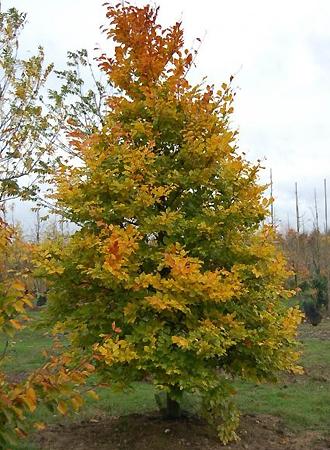 Le hêtre commun - arbre majestueux des forêts