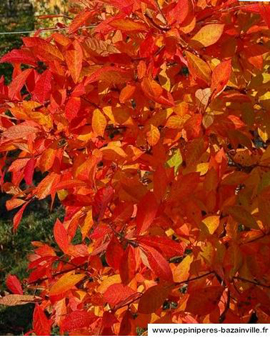 Nyssa Sylvatica – Somptueuse coloration automnale