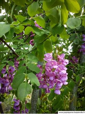Faux Acacia, grappes de fleurs rose foncé au printemps