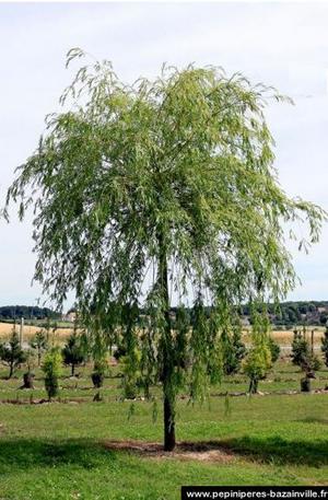 saule pleureur bois jaune arbre paysage parc. Black Bedroom Furniture Sets. Home Design Ideas