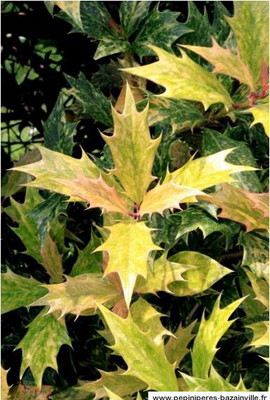 L'Osmanthe panaché à feuilles de houx