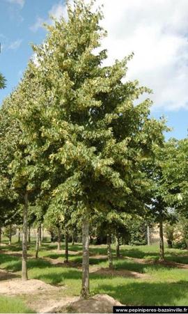 Le tilleul à petites feuilles - jardin et parc en ville