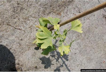 Ginkgo Biloba Autumn Gold - un arbre très ancien
