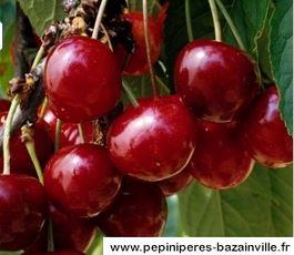 Cerisier Bigarreaux Géant Hedelfingen fruits abondants sucrés