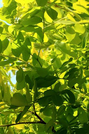 ROBINIA pseudoacaciai Frisia arbre au feuillage doré