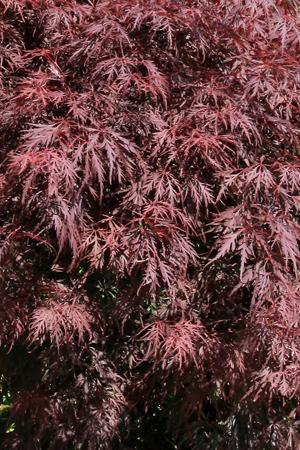 L'érable du japon dissectum Garnet pour bac et jardin