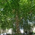 Platanes, des arbres de villes - Pépinières de Bazainville
