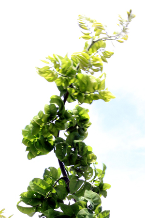 Un jardin romantique avec Sophora japonica dotanea