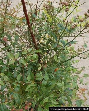 NANDINA domestica un des plus beaux arbustes persistants