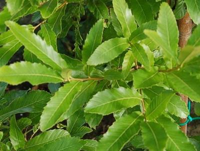QUERCUS acutissima un chêne aux feuilles de châtaigner