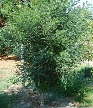 Sophora japonica : un arbre majestueux et très ornemental