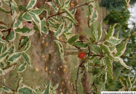 Cornouiller des pagodes panaché - Un arbre onirique