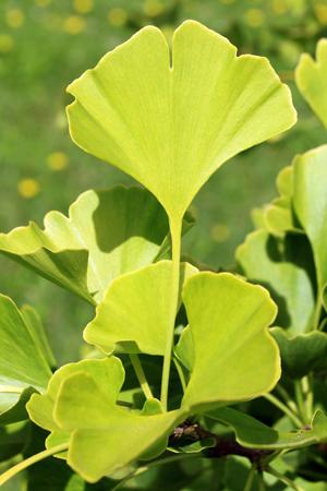 Gingko bibola - arbre très ornemental et résistant à la pollution