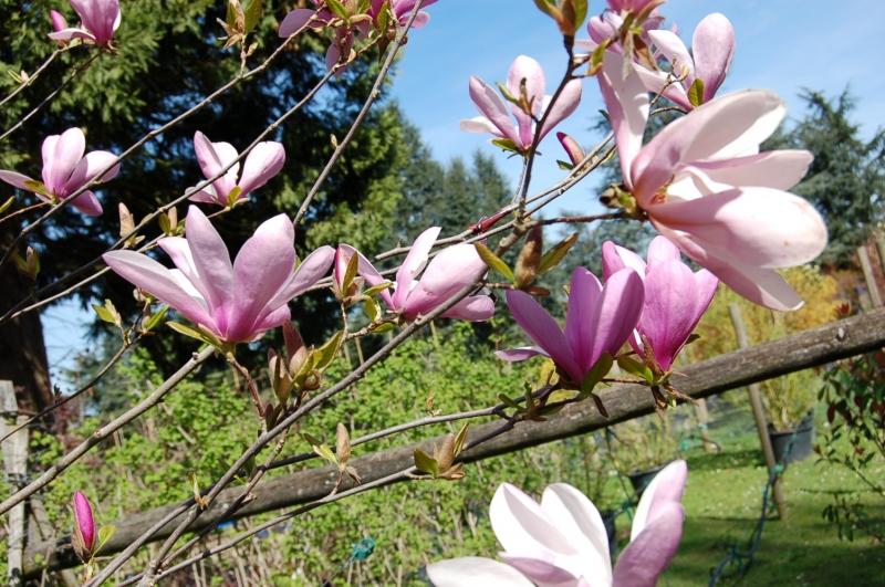 Le Magnolia soulangeana - superbe floraison rose