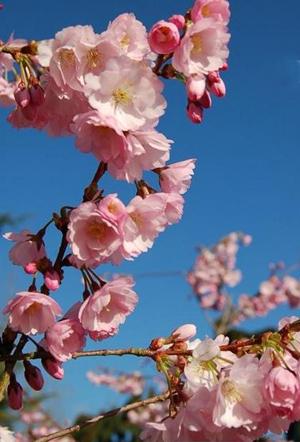 PRUNUS accolade : magnifique floraison rose-fuschia