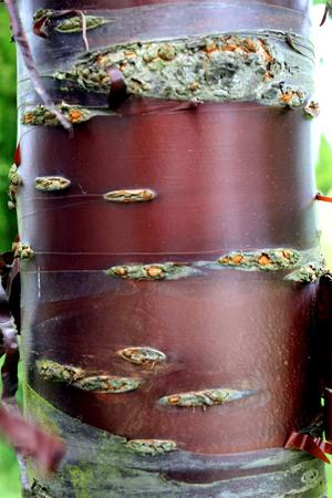 Le cerisier du tibet - Une superbe écorce luisante acajou