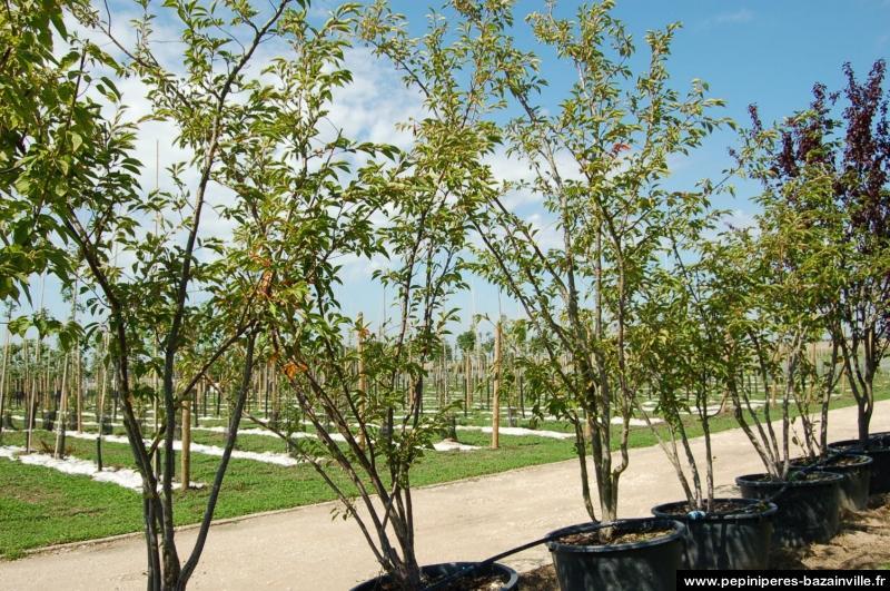 Ornementez jardins, parcs et avenues avec les cerisiers à fleurs