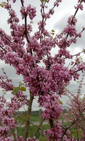 L'arbre de Judée, arbre incontournable du printemps