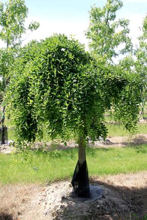 SOPHORA Japonica Pendula - une silhouette très décorative