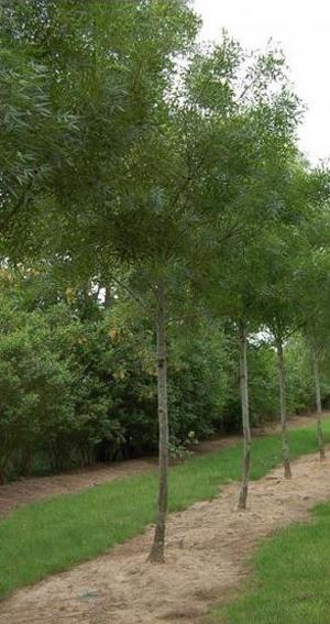 Le frêne à feuilles étroites : une coloration automnale ornementale