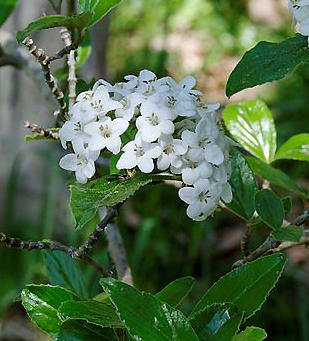 La viorne de Burkwood, une floraison au parfum enivrant