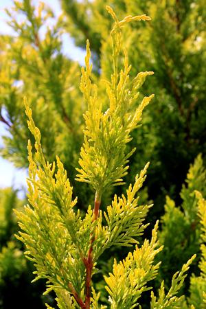 Cyprès de Leyland - conifère au magnifique feuillage jaune citron