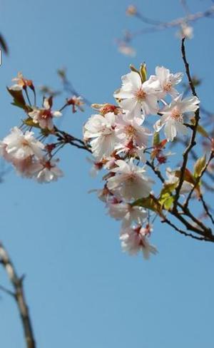 Cerisier à fleurs 'Autumnalis' - Une  belle floraison automnale et hivernale