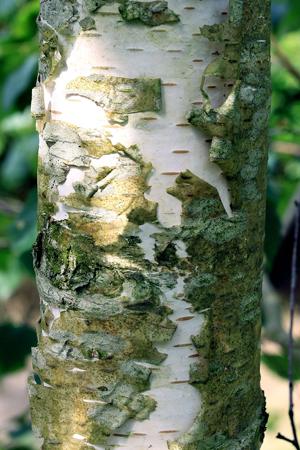 BETULA Verrucosa écorce blanche port et feuillage gracieux