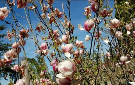 Plantation de Magnolia de Soulange 'Sundew' - Rambouillet (78)