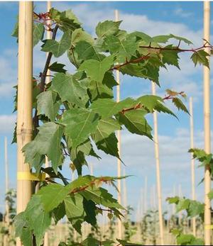 Tilleul de Mongolie arbre caduc au feuillage décoratif