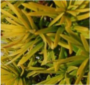 TAXUS baccata Standishii conifère au beau feuillage doré