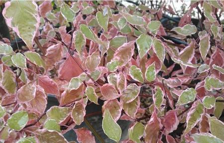 CORNUS alternifolia 'Pinky Spot': feuillage panaché rose