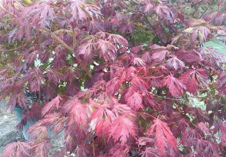 ACER japonicum 'Aconitifolium' - Très bel érable japonais
