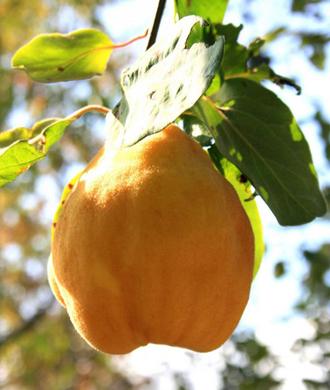 Cognassier à fruits monstrueux de Vranja