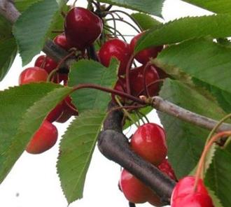 Cerisier Bigarreau Moreau de Grosses Cerises Noires