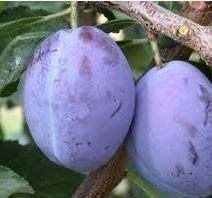 Prunier 'Quetsche d'Alsace' - Des prunes juteuses et savoureuses